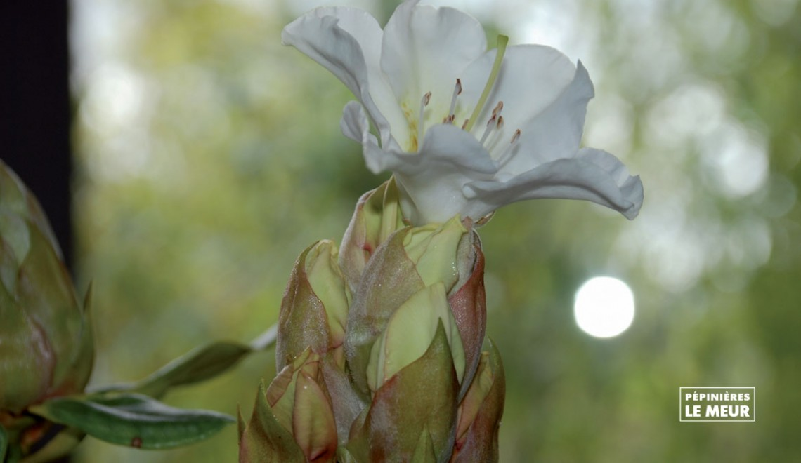 "Rhododendron ""Lindleyi"""