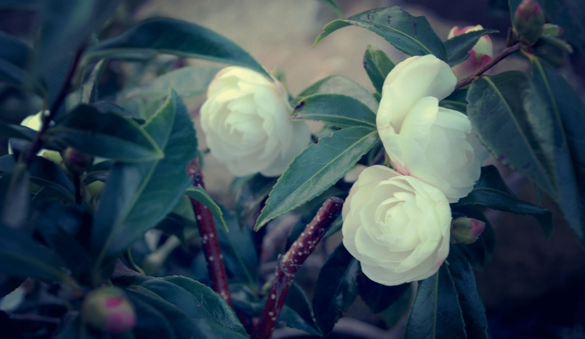 """Camellia """"Early pearly"""""""