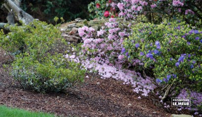 """Rhododendron """"Blue tit"""""""