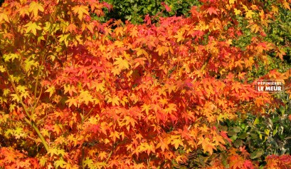 "Acer palmatum ""katsura"""