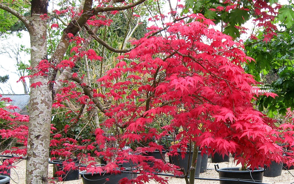 Acer palmatum Schichio improved""