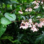 "Styrax Japonica ""Pink Chines"""