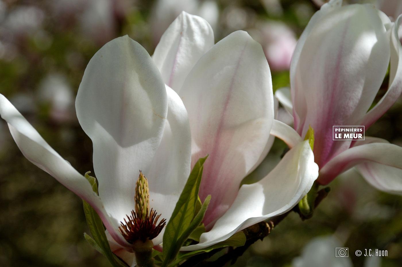magnolia_huon01