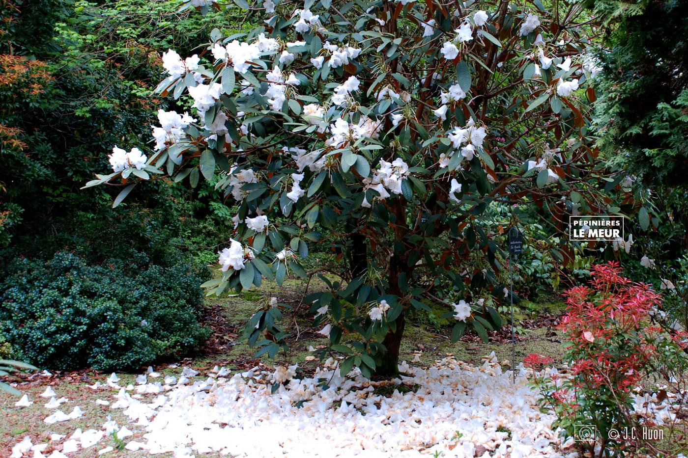magnolia_huon02