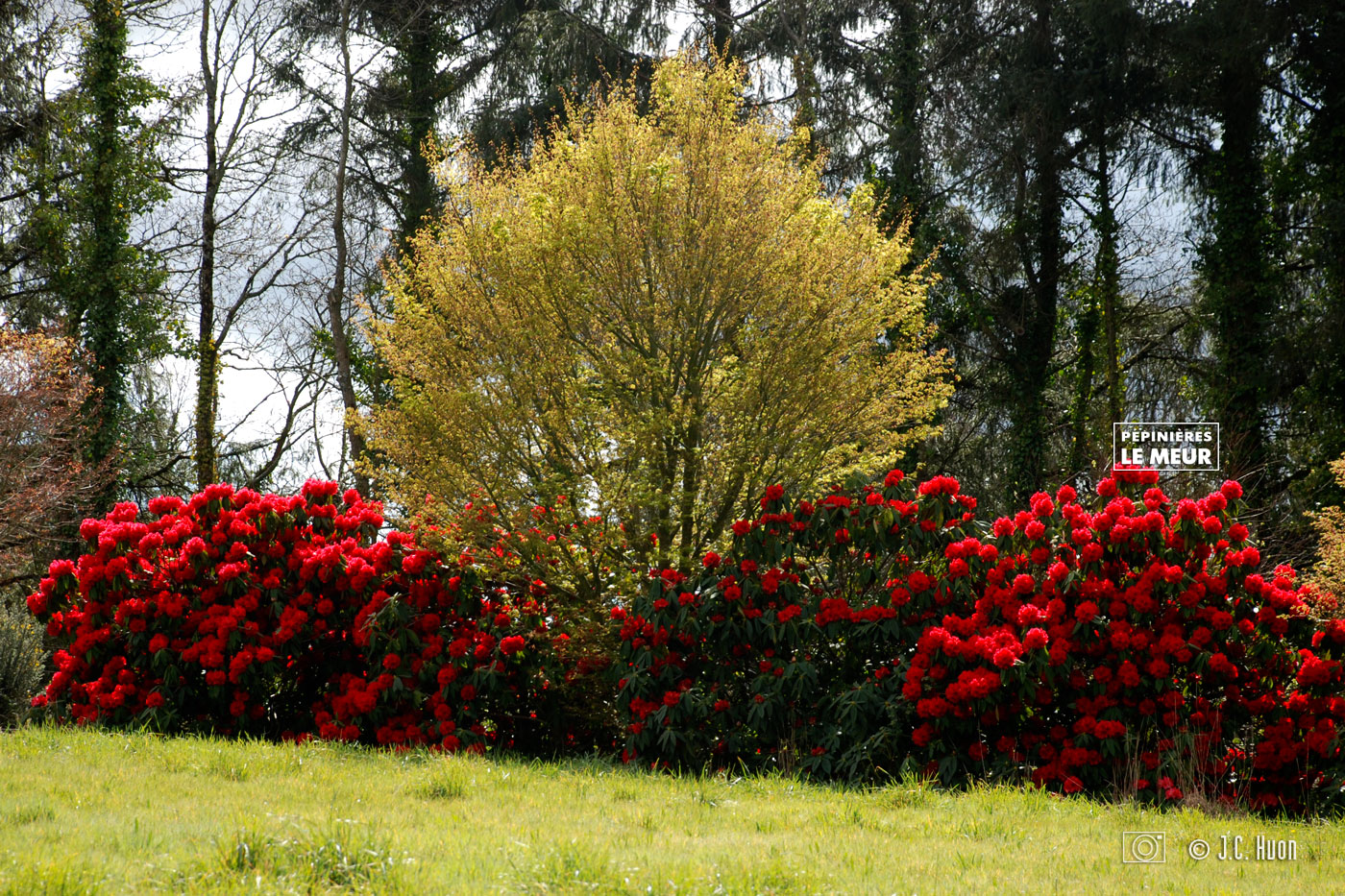 rododenderon-rouge_huon01