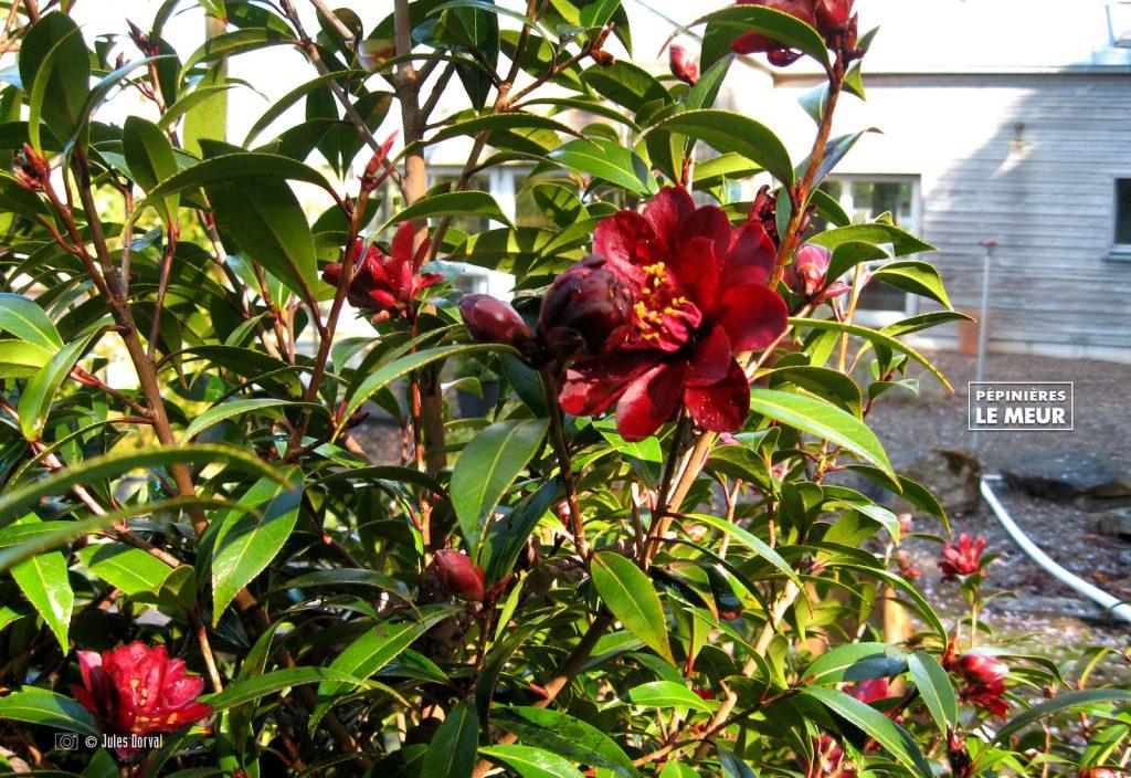 Camellia Night Rider Pépinières le Meur