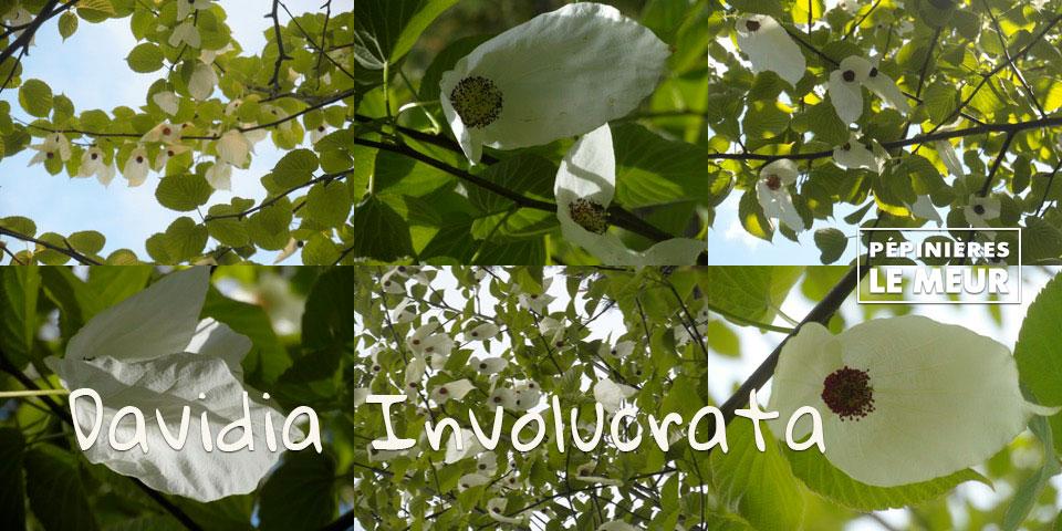 Le Davidia Involucrata, l'arbre aux mouchoirs, Pépinières le Meur