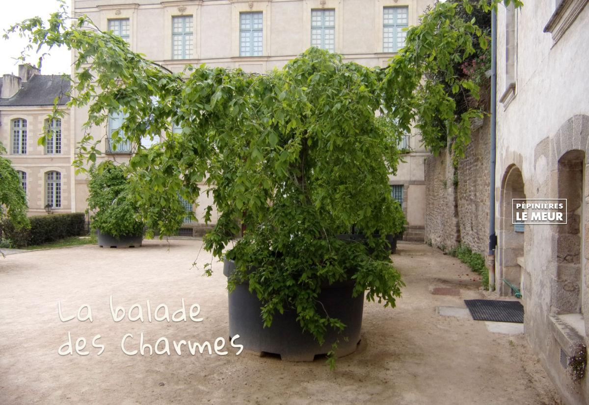 charmes, vannes, pépinières le meur, carpinus betulus